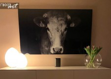 Acrylic Prints Cow
